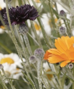 Cornflower and marigold