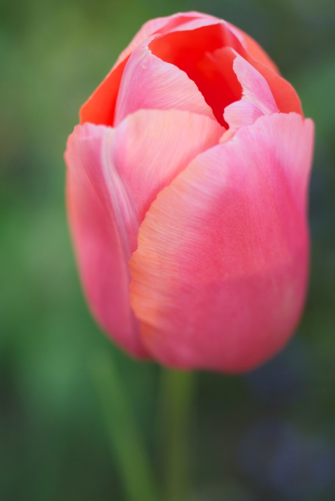 unknown tulip