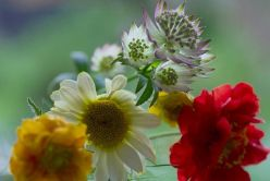 Astrantia, geum and Anthemis