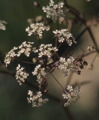 Anthriscusflowersclose