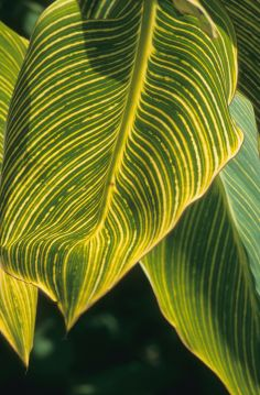 The gaudy Canna leaf but they are not as bad as the flowers.