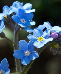 Beautiful Forget me nots